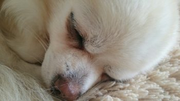 【愛玩犬】ピコさん